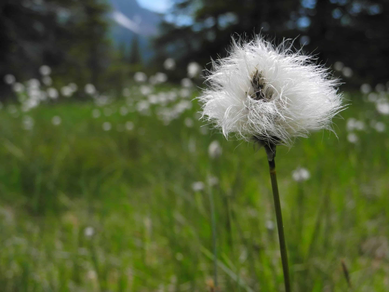 plante blanche en pompon