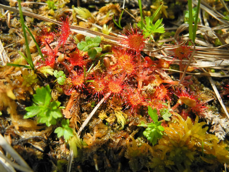 plante carnivore de tourbières