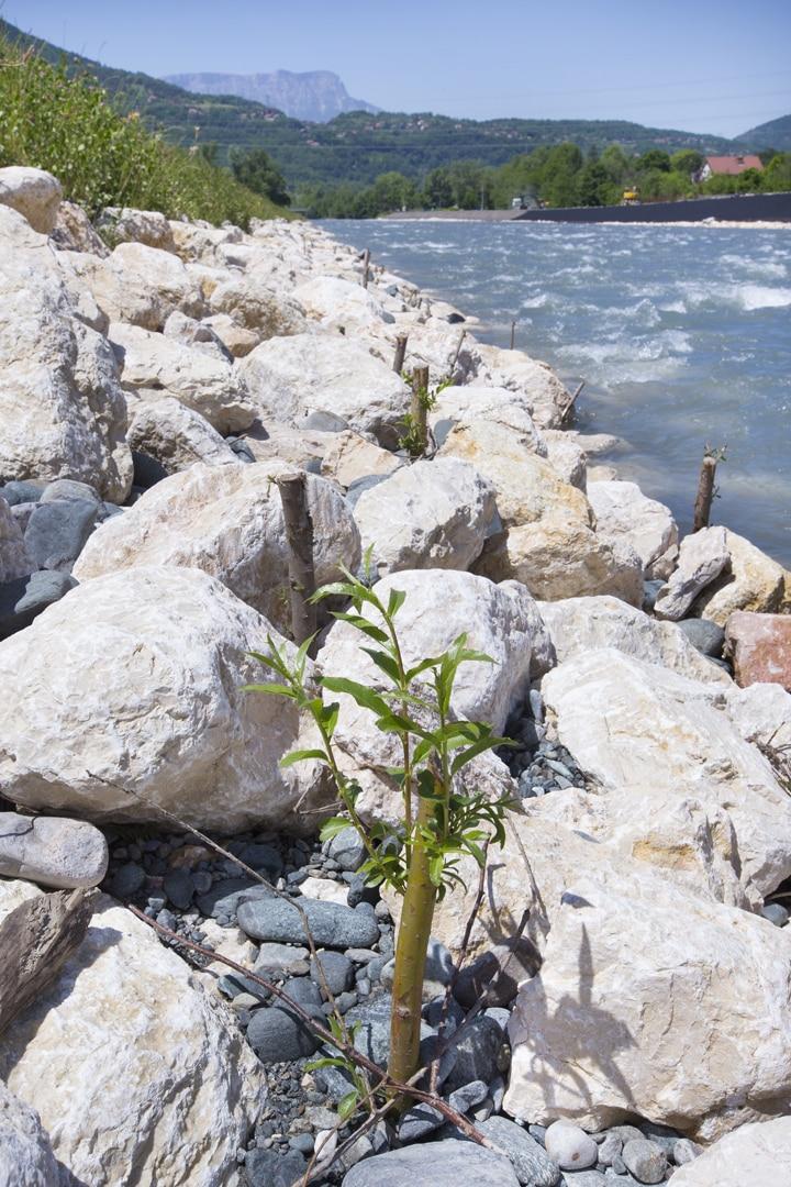 bouture dans enrochement au bord d'une rivière